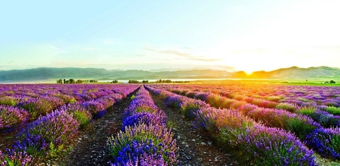 What-Is-Lavender-Oil